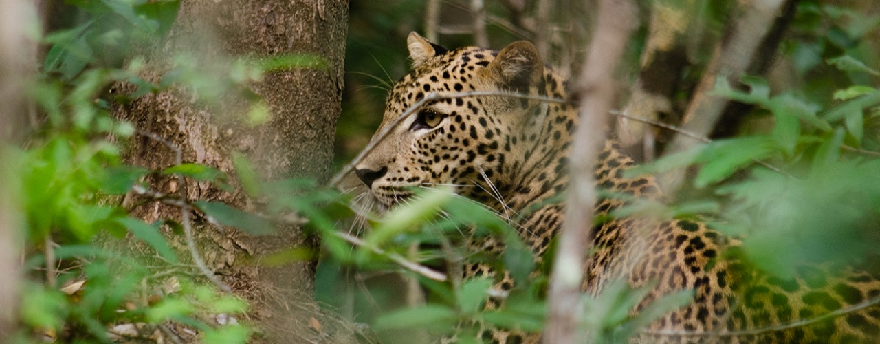 Big Cats, Leopards Conservation efforts in Sri Lanka