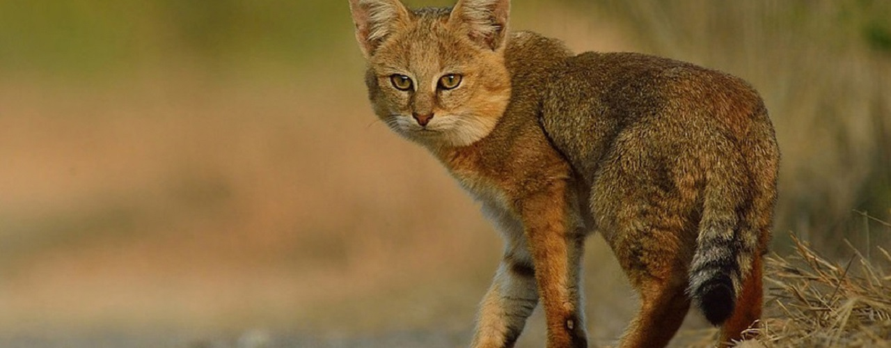 Small wild cats conservation projects in Sri Lanka